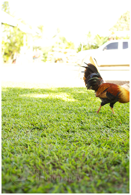 A rooster at Wishing Well Shave Ice, Hanalei, Kauai, Hawaii.