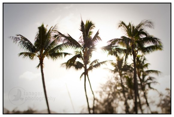 Palm trees, Kauai, Hawaii (tilt-shift)