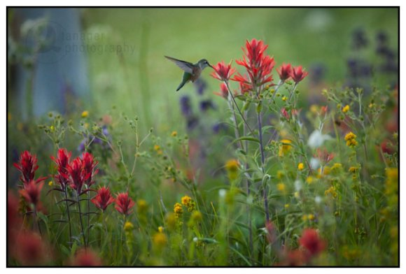 A broad-tailed hummingbird feeds on a rosy paintbrush, White River National Forest, Colorado