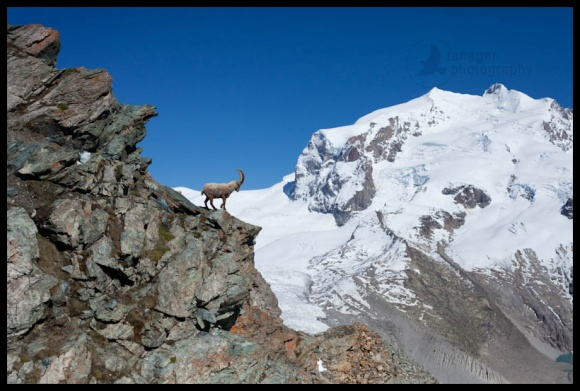 Wild ibex in front of Monte Rosa, near Zermatt, Switzerland
