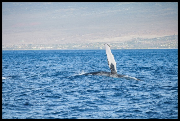 Humpback whale off South Maui, Hawaii
